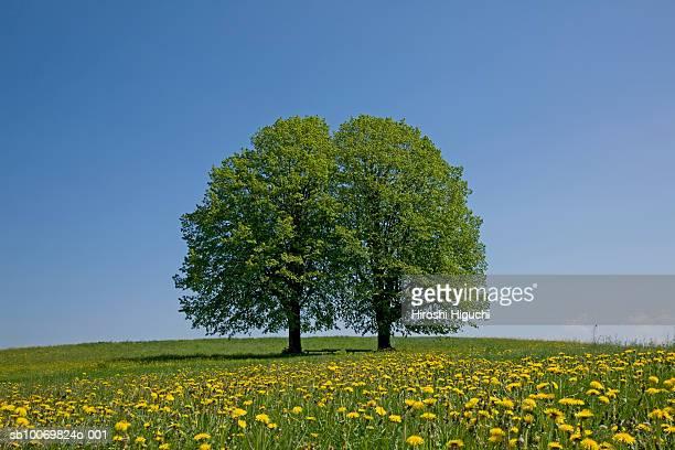 Switzerland, Canton Lucerne, Entlebuch, Lime trees (Tilia) on dandelion (Taraxacum officinale) in field