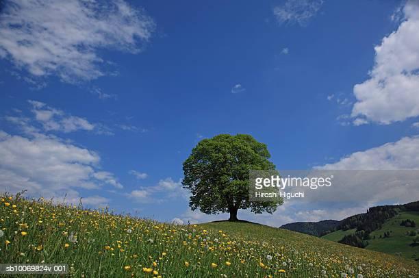 Switzerland, Canton Zug, Menzingen, Lime tree (Tilia) in field