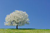 Switzerland, Cherry tree in blossom with blue sky