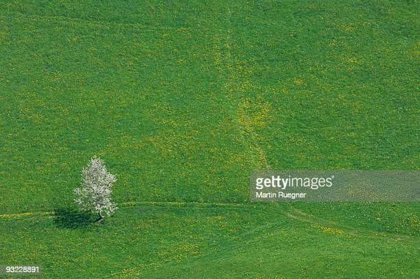 Switzerland, Cherry tree in field, elevated view