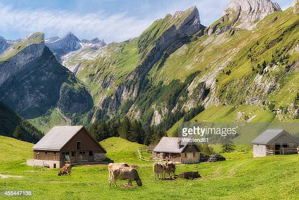 Switzerland, Cows grazing grass with cottage house