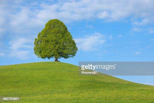 Switzerland, Lime tree in meadow