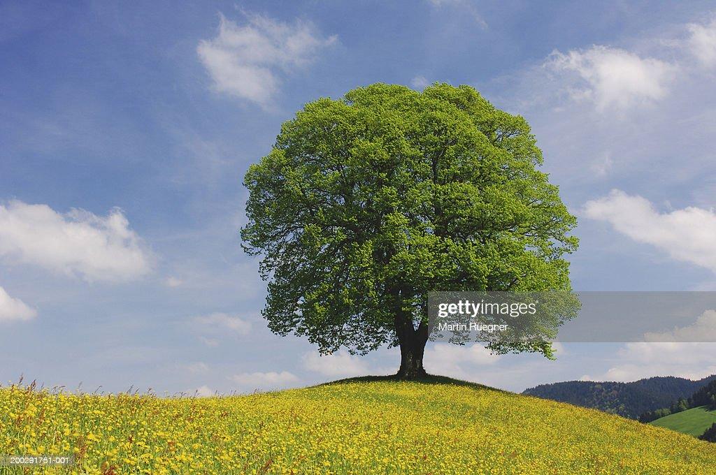 Switzerland, Zurich Canton, lime tree (Tilia sp.) in meadow : Stock Photo