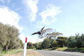 An Australian magpie swooping through the air in defence it's nest.