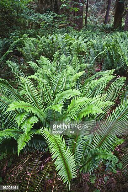 Sword Fern Forest Floor
