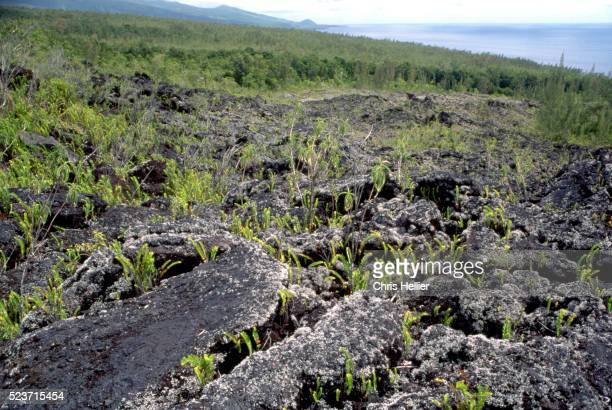 Sword Ferns and Lichens on Lava Flow, Reunion