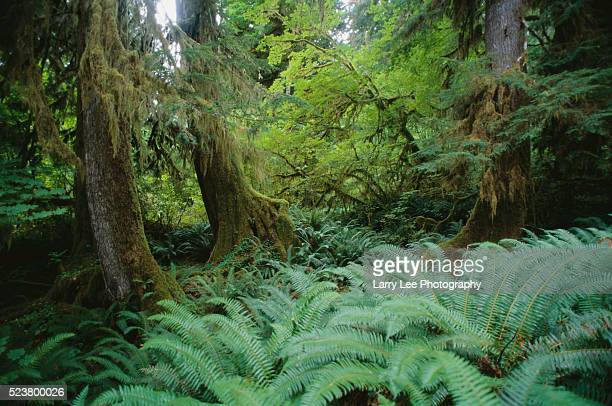 Sword Ferns and Moss Covered Trees