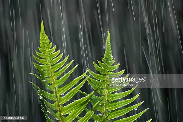 Sword ferns in rain, close-up