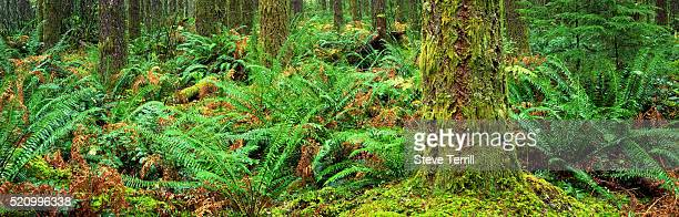 Sword Ferns in Willamette National Forest