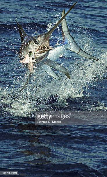 Swordfish on the line jumping out of the water on September 26 2004 in the Florida Keys Florida