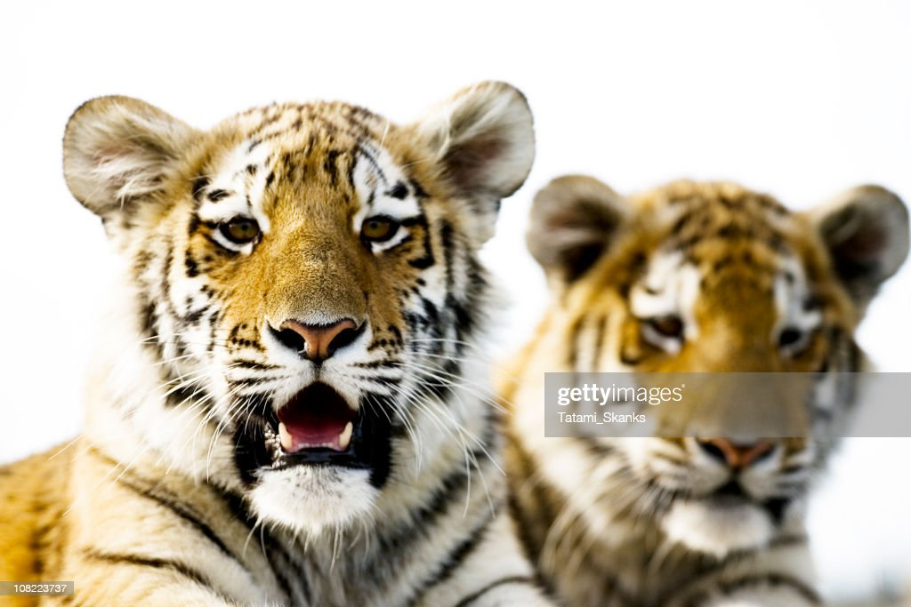 Syberian Tigers : Stock Photo