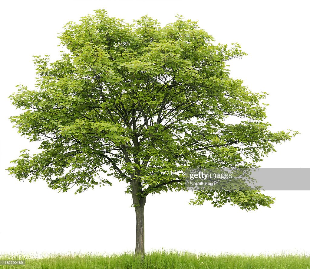 Sycamore Maple (Acer pseudoplatanus) on meadow isolated on_white