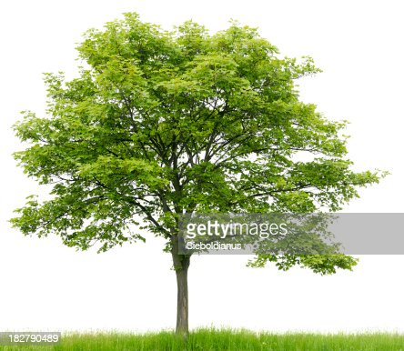 sycamore maple on meadow isolated onwhite stock photo. Black Bedroom Furniture Sets. Home Design Ideas