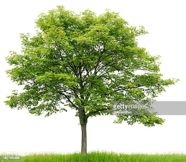 Sycamore Maple (Acer pseudoplatanus) on meadow isolated on_white.