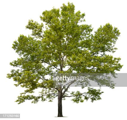 Sycamore Tree Stock Photos and Pictures | Getty Images