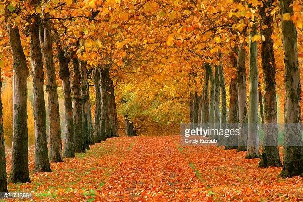 Sycamore Trees in Autumn