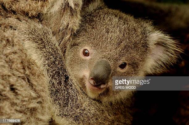 Sydney Wildlife World's new baby joey koala 'Boonda' clings to its mother 'Elle' on June 28 2011 Koalas are under threat due to a shortage of...