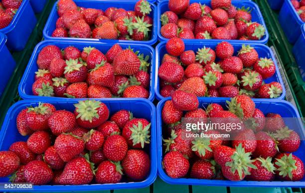 Symbol photo on the topic fruit nutrition health food scandal etc The photo shows strawberries from Spain