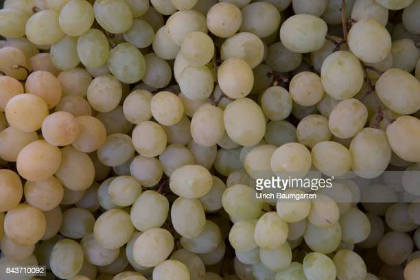 Symbol photo on the topic fruit nutrition health food scandal etc The photo shows grapes from Egypt