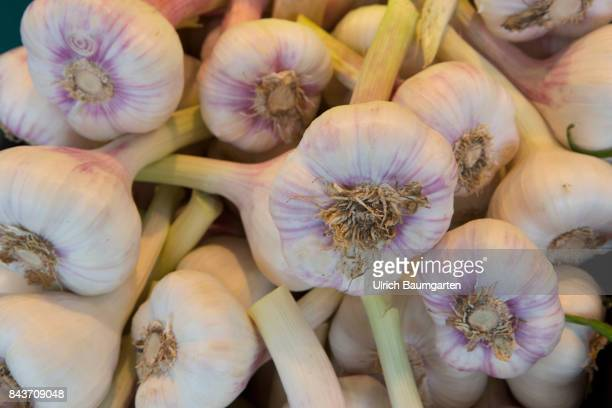 Symbol photo on the topic spices nutrition health food scandal etc The photo shows fresh garlic from France