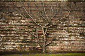 Fruit tree, growing against a traditional brick wall, in a walled garden