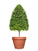 Topiary tree on clay pot isolated on white background for outdoor and garden design
