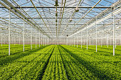 Symmetrical overview of long rows with lots of small chrysanthemum cuttings in the greenhouse of a specialized Dutch chrysanthemum cut flower nursery.