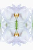 Symmetrical white tulip flower