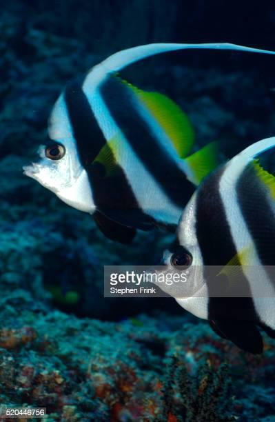 Synchronized Pair of Bannerfish