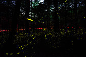 Synchronous fireflies at Great Smoky Mountains