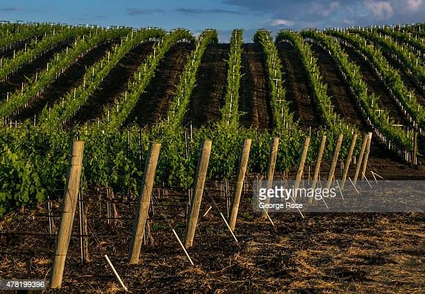 Syrah grapevines grow under the warm sun in Ballard Canyon on June 10 near Solvang California Because of its close proximity to Southern California...