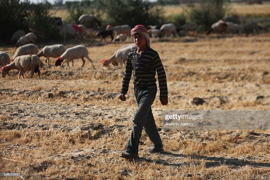 A Syrian farmer boy go to harvest wheat as Assad Regime Forces' airstrikes continued for three years at Eastern Ghouta in Damascus, Syria on May 31, 2016.