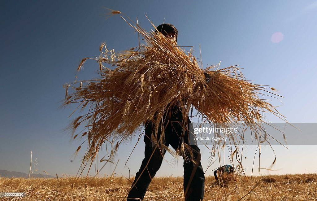A Syrian farmer harvests wheat as Assad Regime Forces' airstrikes continued for three years at Eastern Ghouta in Damascus, Syria on May 31, 2016.