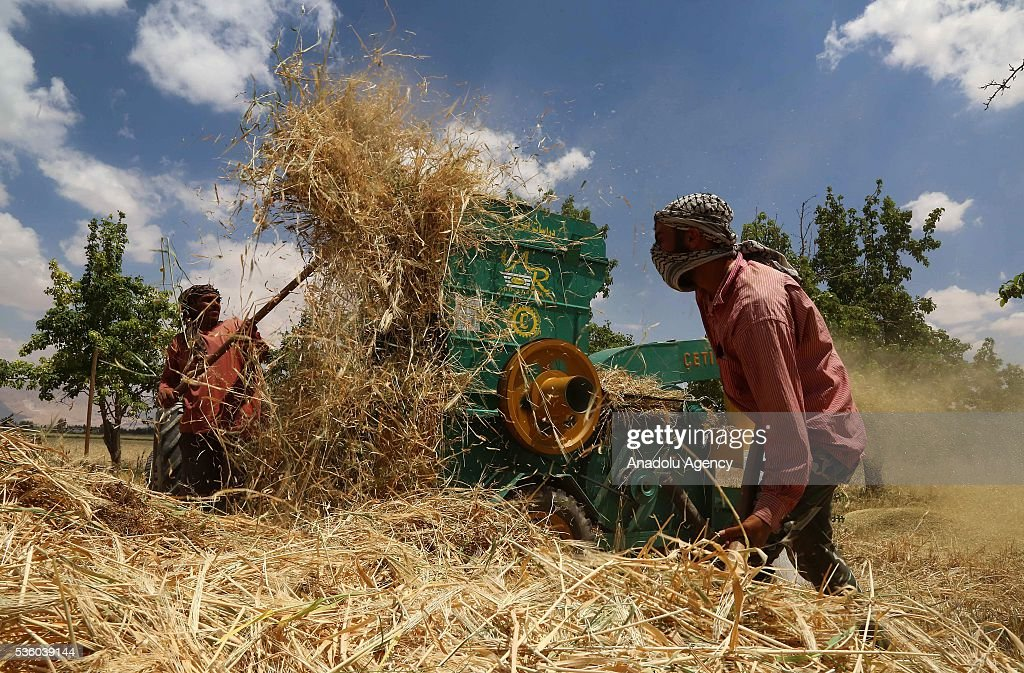 Syrian farmers harvest wheat as Assad Regime Forces' airstrikes continued for three years at Eastern Ghouta in Damascus, Syria on May 31, 2016.