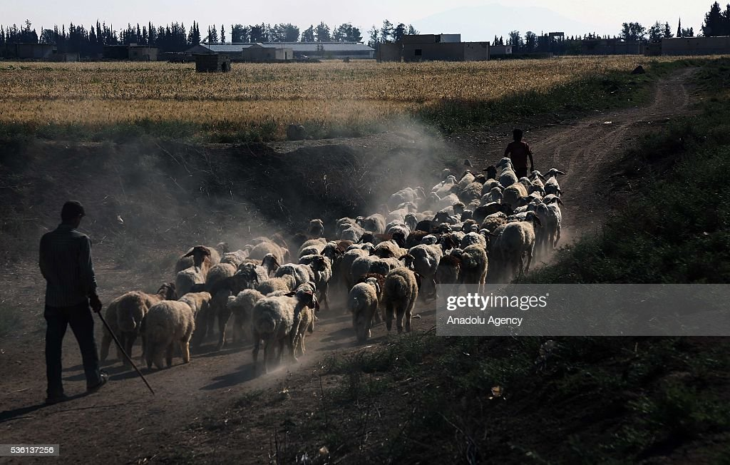 Syrian farmers walk near their sheep herd as Assad Regime Forces' airstrikes hae continued for three years at Eastern Ghouta in Damascus, Syria on May 31, 2016.