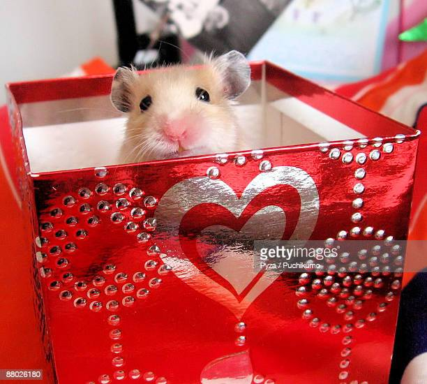 Syrian hamster in gift box