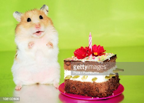 Syrian Hamster With Birthday Cake Stock Photo Getty Images - Hamster birthday cake