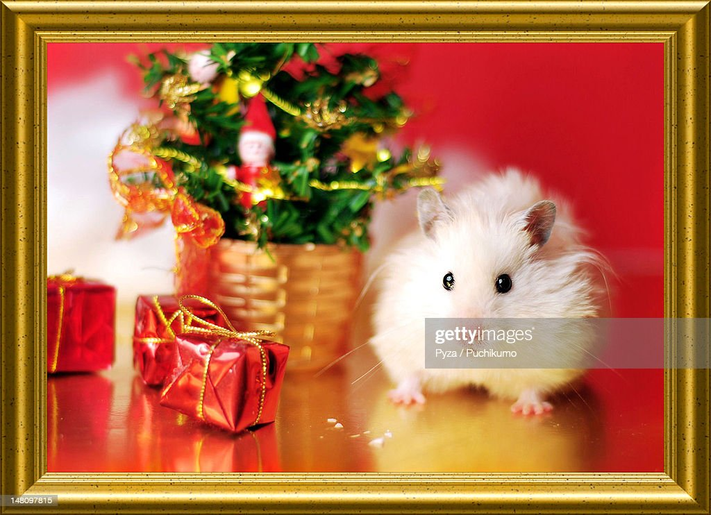 Syrian hamster with christmas tree : Stock Photo