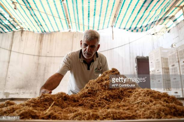 A Syrian member of the Adala Foundation a local NGO inserts seeds amid straw at a makeshift cultivation centre in the rebelheld town of Douma on the...