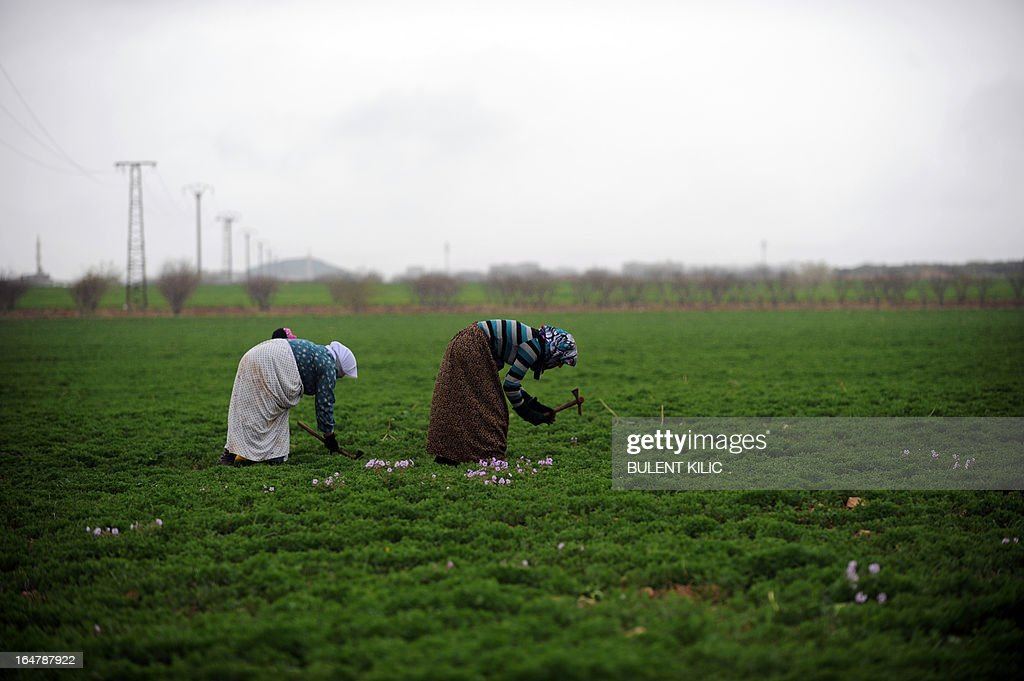 Syrian women harvest their fields in the northern Syrian town of Azaz, on March 28, 2013. More than 70,000 people have died in Syria's two-year conflict, the UN says. AFP PHOTO/BULENT KILIC