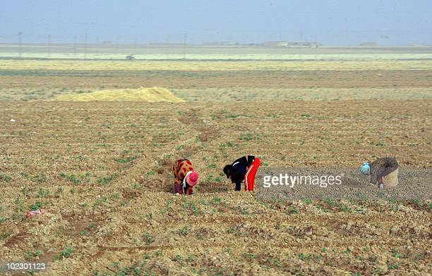 Syrian women work in the fields in the droughthit region of Hasaka in northeastern Syria on June 17 2010 The United Nations World Food Programme has...