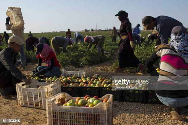 Syrian workers collect tomatoes in a Jordanianowned field in Ashrafiye in Mafraq Province Jordan September 15 2013 There are roughly 120000 Syrian...