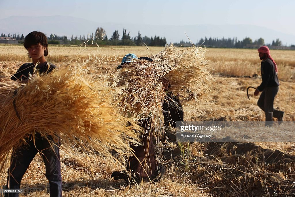 Syrians farmers harvest wheat as Assad Regime Forces' airstrikes continued for three years at Eastern Ghouta in Damascus, Syria on May 31, 2016.