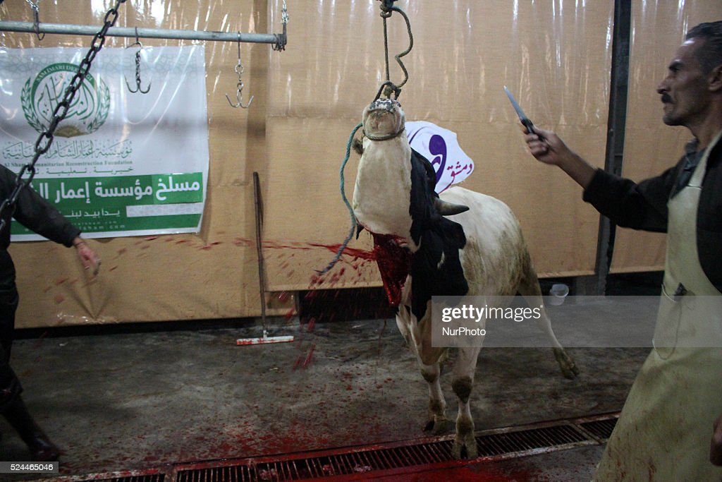Syrians slaughter cow during the Muslim holiday of Eid alAdha which commemorates Abraham's willingness to sacrifice his son for God Rif Dimashq ghota...
