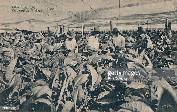 Tabaco bajo toldo Shade grown Tobacco Cuba c1900 [American Photo Studios HavanaCuba] Artist Unknown