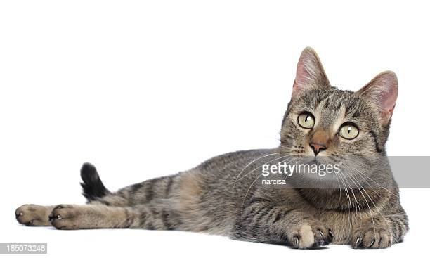 Tabby cat isolated on white
