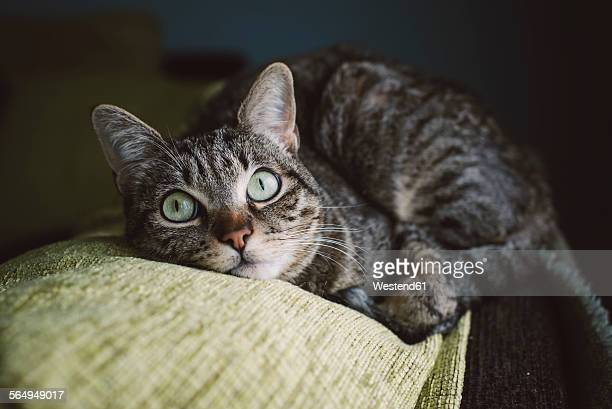 Tabby cat liying on the top of a couch at home