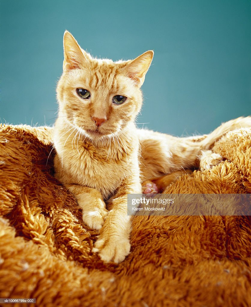 Tabby cat on rug : Stock Photo