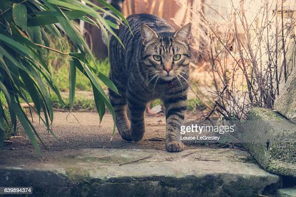 Tabby cat on the move