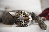 tabby cat lies relaxed on the sofa and looks attentively at the camera, waiting for playing, selected focus, narrow depth of field
